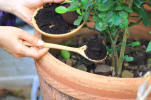 coffee grounds being scooped into a potted plant